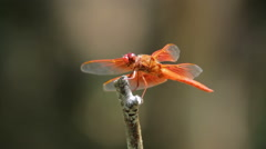 Red tailed DragonFly (Anisoptera) perched on a branch Stock Footage