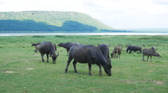 Water buffalo eating grass on the field Stock Footage