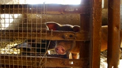Little pigs in a cage Stock Footage