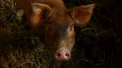 Little pig in a cage Stock Footage