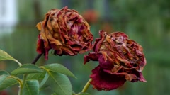 Withered roses in the garden Stock Footage