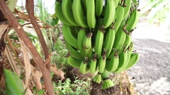 Several banana trees in Cape Verde Africa Stock Footage