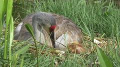Sandhill Crane Picks Eggshell Out of Nest and Looks Down on Newborn Chick, 4K Stock Footage