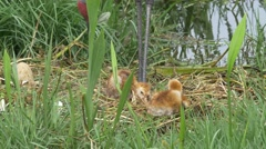 Two Sand HIll Crane Babies Stumbling in Nest While Parents Supervise, 4K Stock Footage
