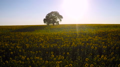 Aerial view over field of blooming sunflowers on a background sunset - stock footage