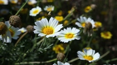 Daisies field flowers with light breeze in a sunny day Stock Footage