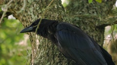 Crow Raven Blackbird Sits in Tree, 4K Stock Footage