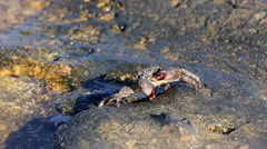 Crabs on the Beach Stock Footage