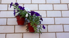 The petunia flowers in the flowerpot on the wall Stock Footage