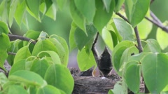 Baby Robins Stock Footage