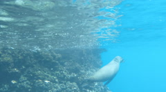 A sea lion takes a breath then dives deep at isla espanola in the galapagos Stock Footage