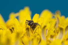 The jumper spider Stock Photos