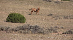 4K Stallion Runs Across Open Sagebrush Towards Herd Mares Stock Footage
