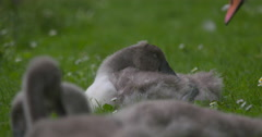 Cygnet on green grass, adult swan passes by Stock Footage