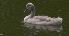 Cygnet floating on lake water Stock Footage