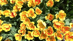 CLOSE UP: Lovely yellow and red blooming tulips swinging in soft spring breeze Stock Footage