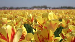 CLOSE UP: Stunning yellow and red blooming tulips swinging in soft spring wind Stock Footage