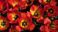 CLOSE UP: Stunning wide opened red blooming tulips swaying in gentle spring wind Stock Footage