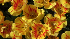 CLOSE UP: Lovely wide opened yellow blooming tulips moving in gentle spring wind Stock Footage