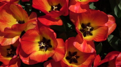 CLOSE UP: Pretty wide opened red blooming tulips swaying in gentle spring wind Stock Footage
