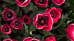 CLOSE UP: Gorgeous wide opened rose blooming tulip bulbs growing on flower field Stock Footage