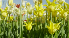 CLOSE UP: Amazing delicate silky tulips of different species, colors and shapes Stock Footage