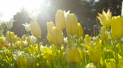 CLOSE UP: Lovely colorful silky tulips growing on beautiful natural meadow field Stock Footage