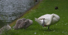 Swan and cygnets dry off and preen Stock Footage