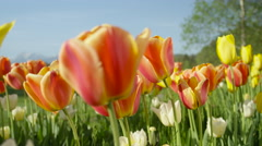 CLOSE UP: Lovely vibrant red silky tulips blooming under sunny cloudless skies Stock Footage