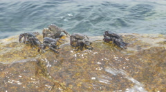 Crabs on the large stone in the sea, waves splashing rock by Sheyno. Stock Footage