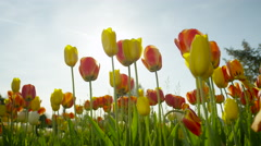 CLOSE UP: Pretty red, orange and yellow tulips blooming on wild grassy field Stock Footage