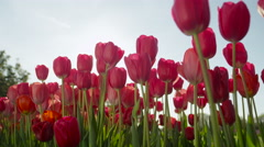 CLOSE UP: Pretty rosy red silky tulips blooming on amazing garden on sunny day Stock Footage