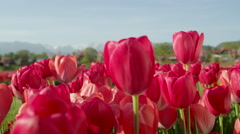 CLOSE UP: Pretty rosy red silky tulips flowering on amazing field on sunny day Stock Footage