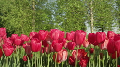 CLOSE UP: Pretty violet and white flowering tulips at touristic garden park Stock Footage