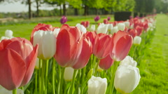 CLOSE UP: Lovely diverse red, yellow and white tulips blooming on grassy field Stock Footage