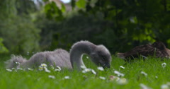 Cygnet feeds on riverbank with daisies Stock Footage