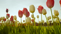 CLOSE UP: Beautiful colorful tall tulip bulbs blooming in floricultural park Stock Footage