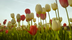 CLOSE UP: Stunning colorful tall tulip bulbs blooming at floricultural park Stock Footage