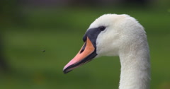 Swan Head with flying insect landing on beak Stock Footage