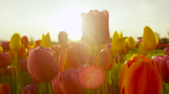 CLOSE UP: Stunning vibrant fragile tulip bulbs blooming at floricultural park Stock Footage
