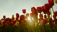 CLOSE UP: Stunning colorful fragile tulip bulbs blooming at floricultural park - stock footage