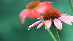 A close up of wet maroon Echinacea flowers Stock Footage