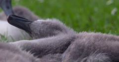 Sleepy cygnet preens and snoozes Stock Footage