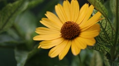 A close up of wet yellow Heliopsis helianthoides flower Stock Footage