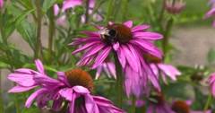 Bumblebee feeds on Purple coneflower (echinacea purpurea) Stock Footage
