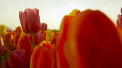 CLOSE UP: Lovely fresh colorful tulip bulbs blooming at floricultural park Stock Footage