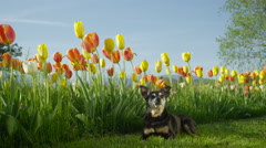 SLOW MOTION: Cute senior dog lying on mowed meadow next to tall blooming tulips Stock Footage