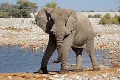 African elephant at waterhole, Etosha National Park, Namibia Stock Photos