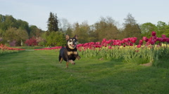 CLOSE UP: Excited senior dog running on grass near colorful tulip flowerbeds Stock Footage