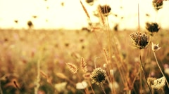 Beautiful meadow pink flowers on sunset background. Autumn theme background Stock Footage